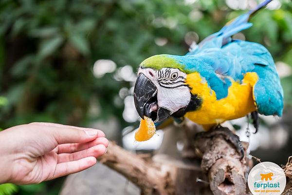 parrot-ara-eating-piece-orange.jpg