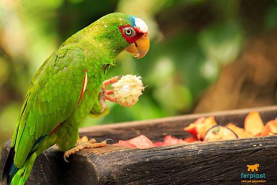 pappagallo-mangiatoia-cibo-frutta1.jpg