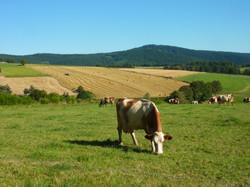Encore une vache