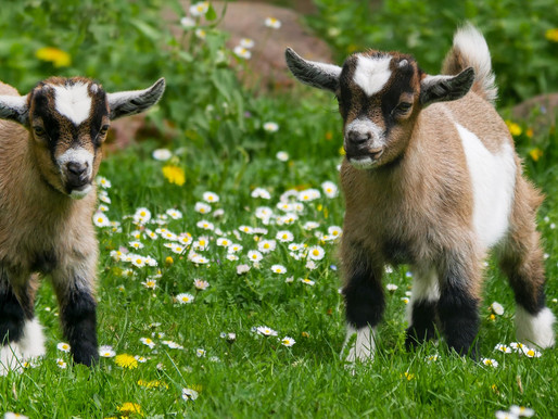The problem with goat Yoga