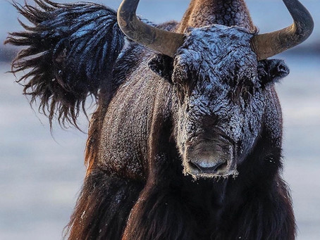 LIFE BY THE HORNS: What We Can Learn From The Yak (SPRING 2021 Updated TOC)