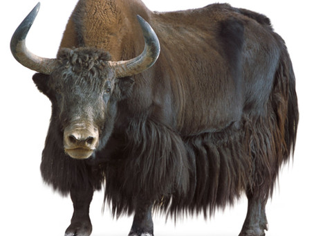 CHAPTER 1/TO HACK THE YAK - TREKKING THE TRAIL OF ONE OF OUR PLANET'S MOST MYSTERIOUS MAMMALS