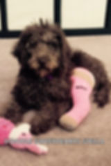 Stella - mini F1B chocolate labradoodle