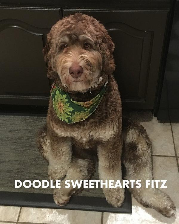 Fitz - mini F1B chocolate phantom labrad