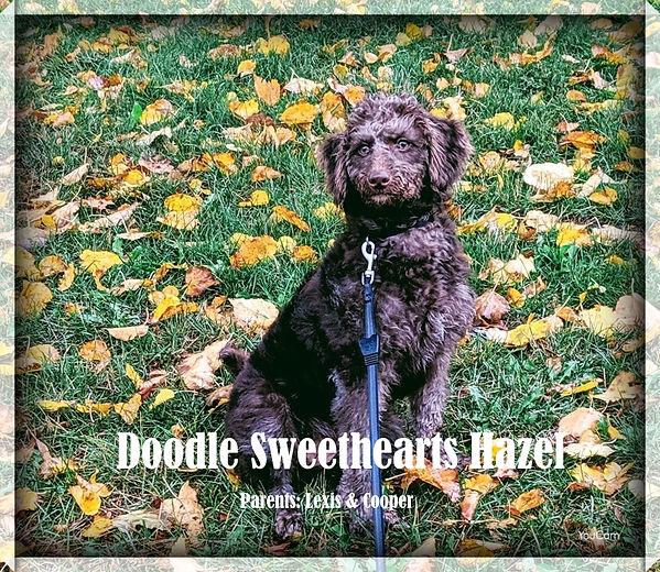 Hazel - F1b chocolate labradoodle.JPG