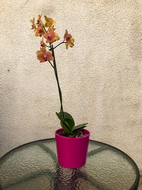 Mini orquideas chica
