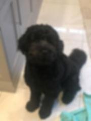 Kingston - mini black australian labrado