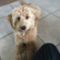 Molly - mini F1 labradoodle - Brandy x G