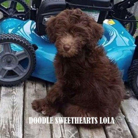 Lola - mini F1b chocolate labradoodle.jp