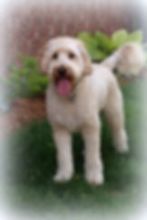 Dallas - F1 mini labradoodle.JPG