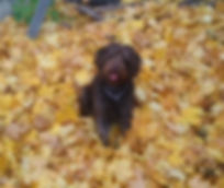 Daisy - mini F1 chocolate labradoodle.jp