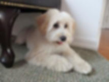 Bailey - mini F1 labradoodle.jpg
