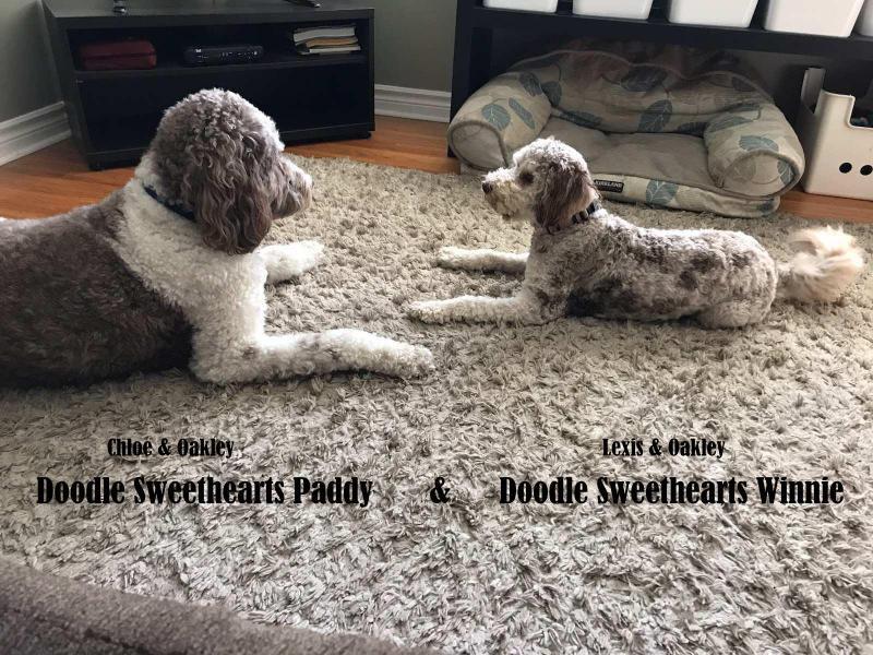 Paddy & Winnie - chocolate parti labrado