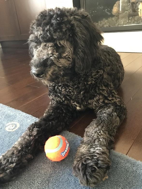 Jasper - Black Curly F1b Labradoodle.jpg