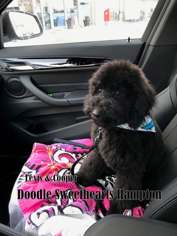 Hampton - mini F1b black labradoodle.jpg