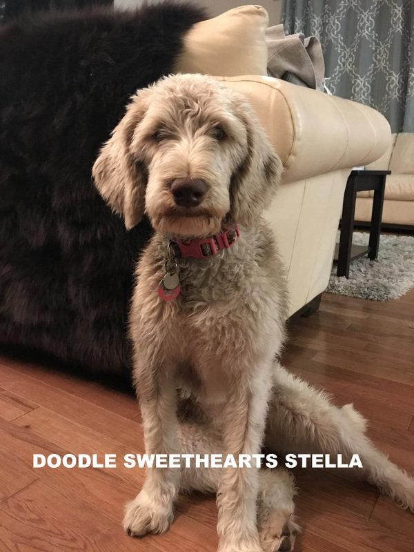 Stella - chocolate parti labradoodle .JP