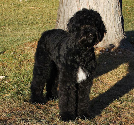 black abstract labradoodle.jpg