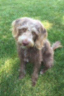 Ellie - mini F1 chocolate labradoodle -