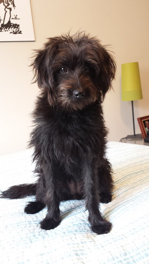 Lucy - mini F1 black labradoodle.jpg