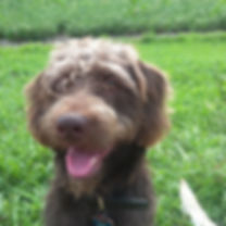 Russell - mini F1 chocolate labradoodle