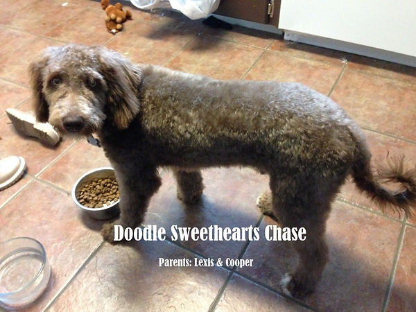 Chase - F1b chocolate labradoodle .JPG