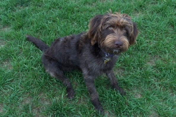 Lucie - mini F1 chocolate labradoodle -