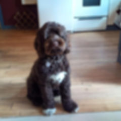 chocolate abstract  labradoodle.jpg