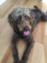 Willow - mini F1 chocolate labradoodle -