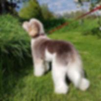Poppy - mini parti labradoodle 3.jpg