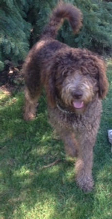 Otto - standard chocolate labradoodle.jp