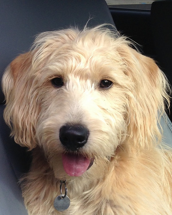 Ryely - mini F1 labradoodle.JPG