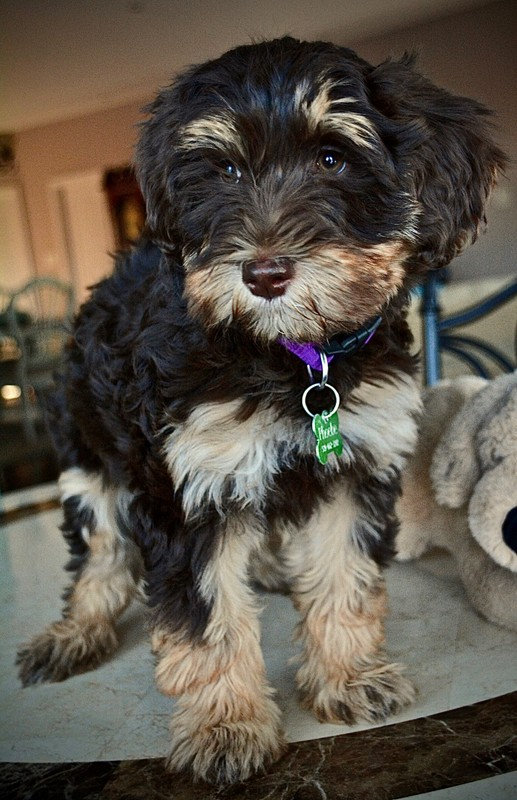 Phoebe - mini Australian labradoodle.jpg
