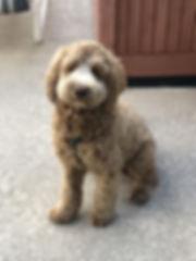 Riley - mini caramel australian labradoo