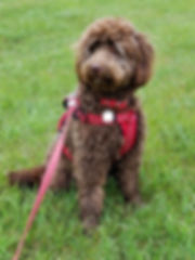 Finnigan- mini F1b chocolate labradoodle