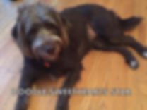 Star - mini f1b chocolate labradoodle -