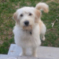 Liberty - Mini F1 labradoodle.jpg