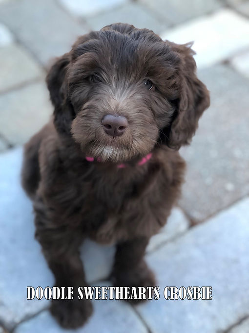 Crosbie - mini F1b chocolate labradoodle