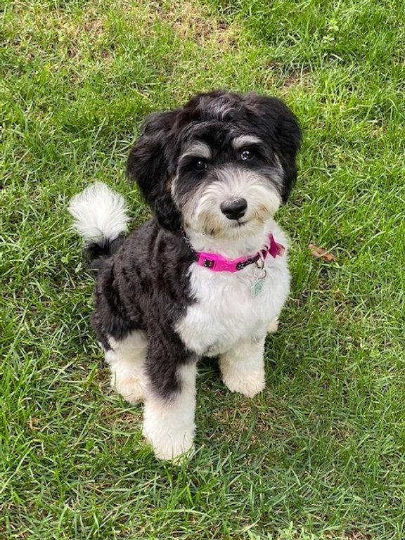 Lucy - mini australian labradoodle.jpg