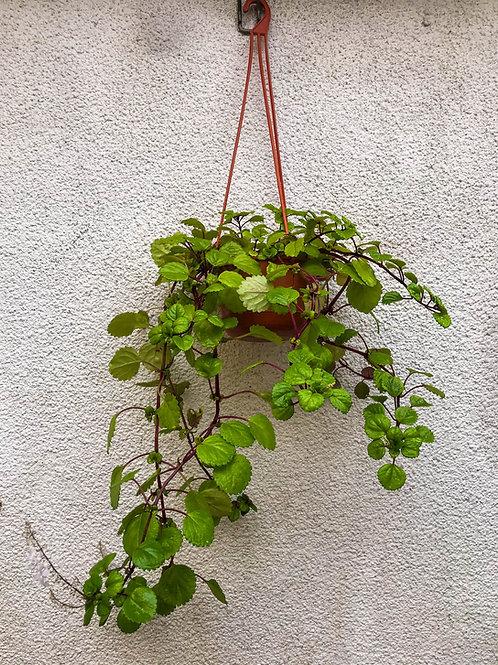 Planta colgante Plectranthus o del dólar