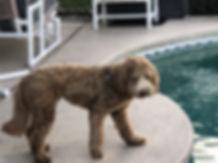 Riley - mini caramel austrailian labrado