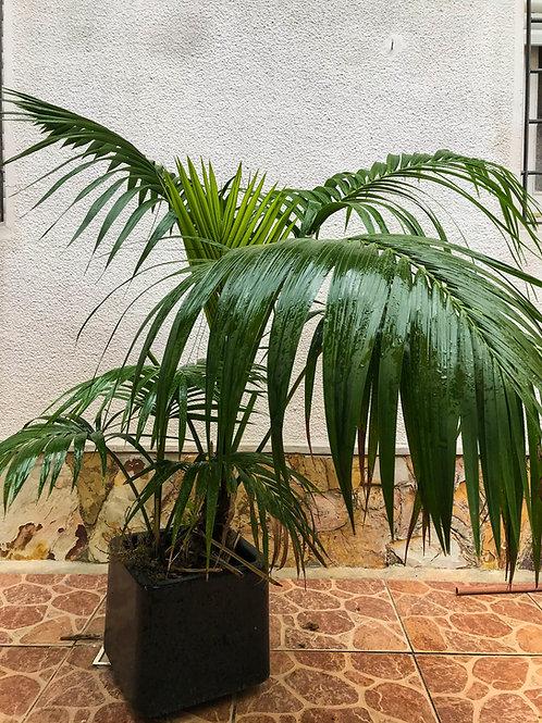 Kentia gigante en macetero de fibra