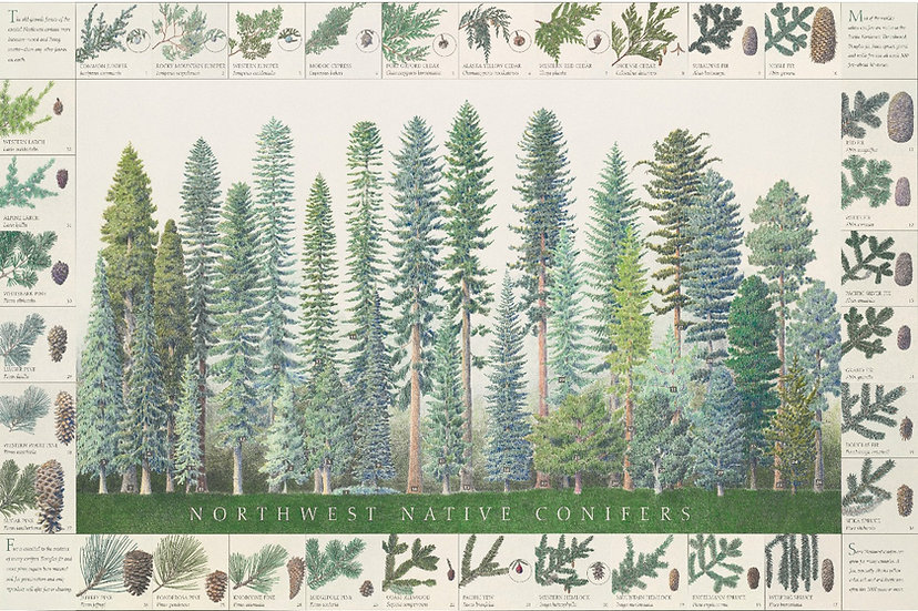 NW Native Conifers Poster Field Guide on green paper