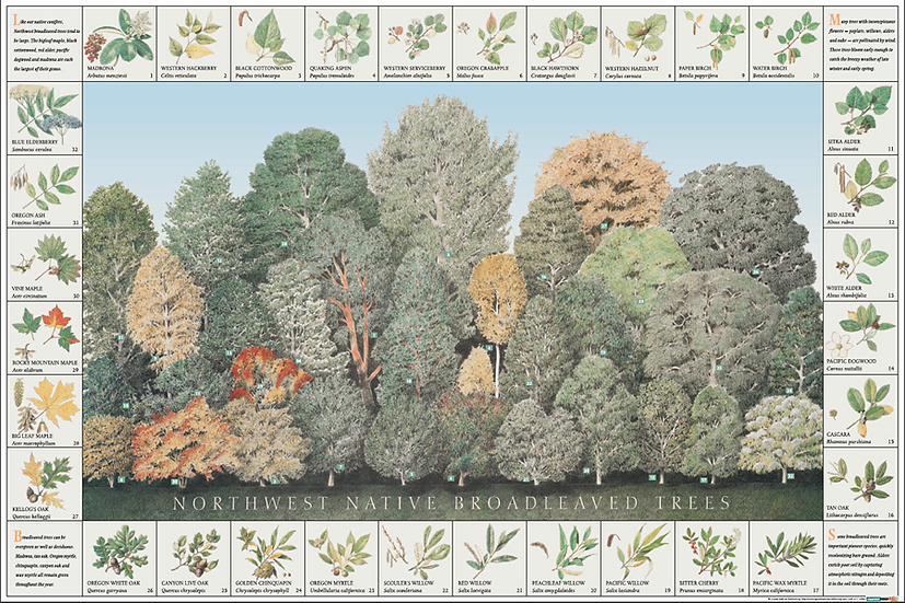 NW Native Broadleaved Trees Poster