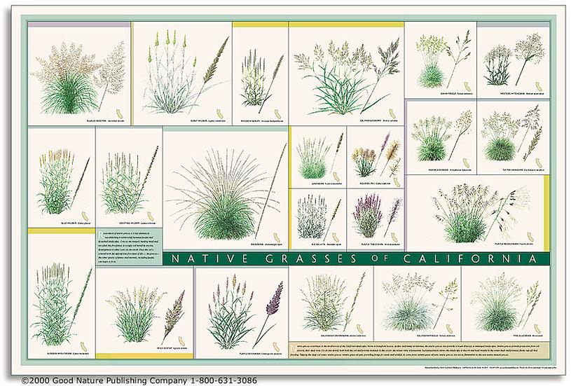 Native Grasses of California Poster