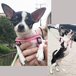 PjupPortrait-Chihuahua.jpg