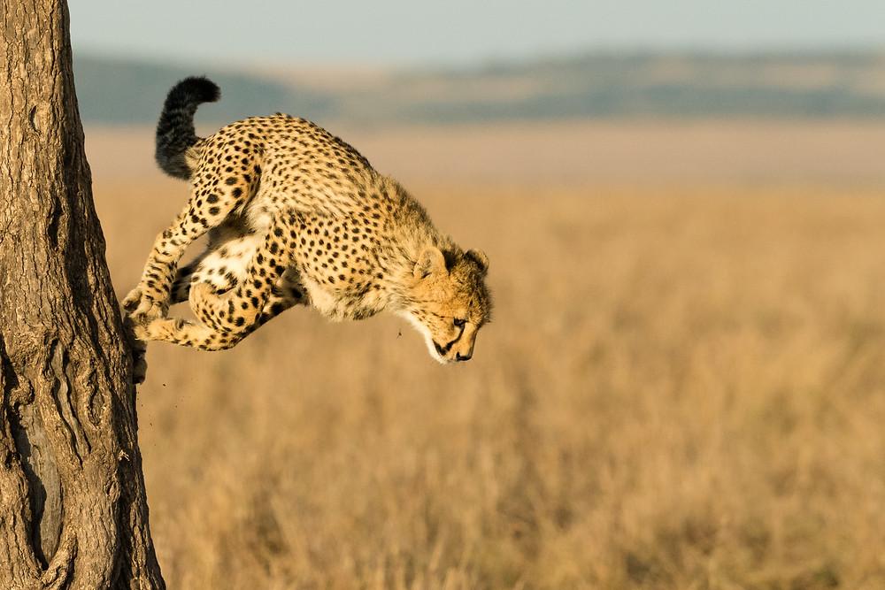 Cheetah Cub Jump-4
