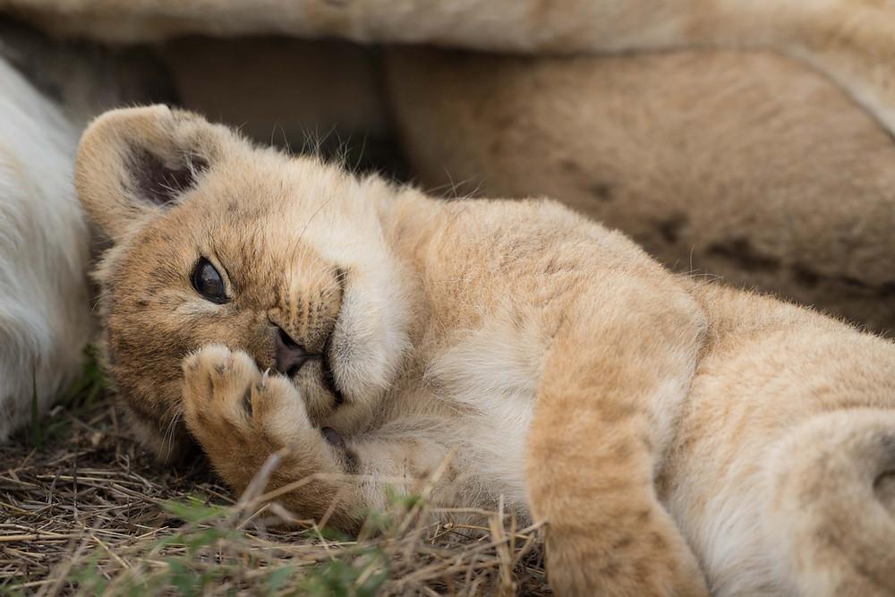 Lion Cubs GIF-8