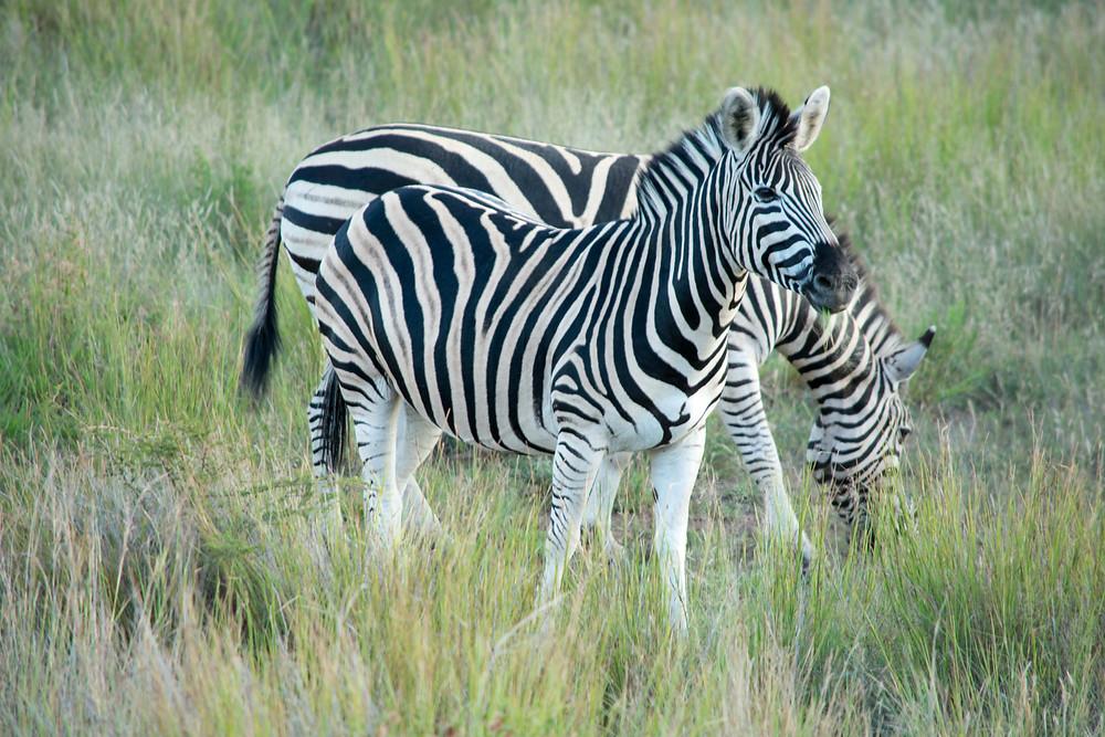 Zebra Pilanesberg