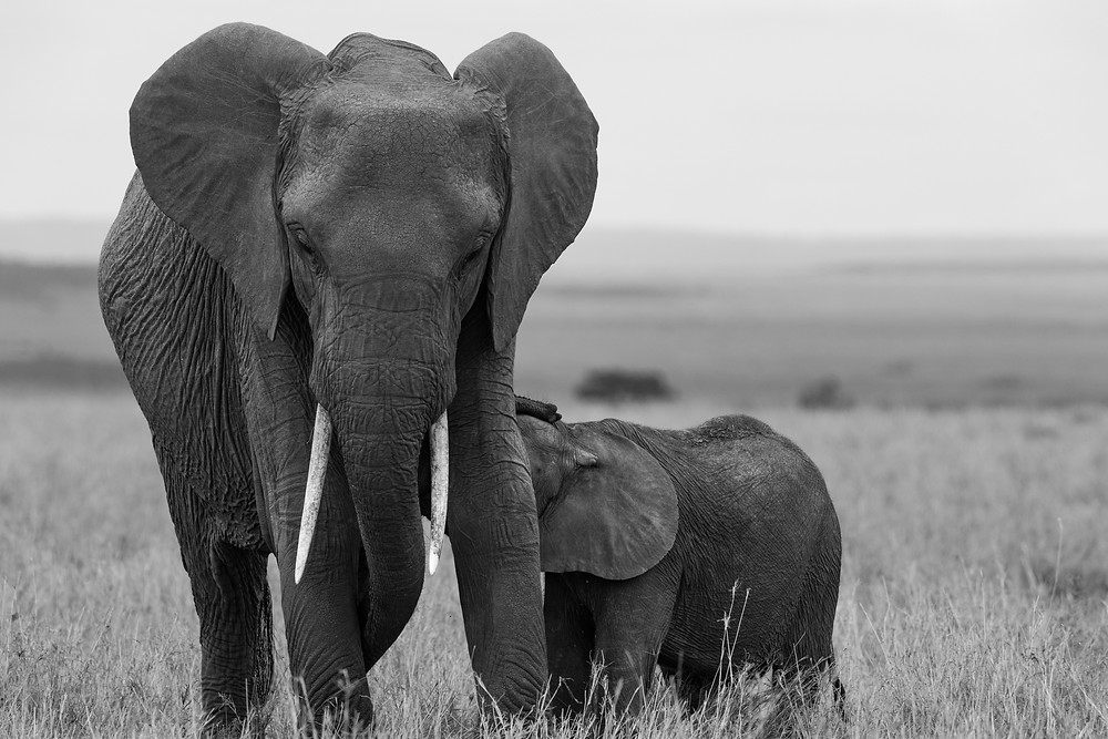 Mother + Baby elephant (BW)