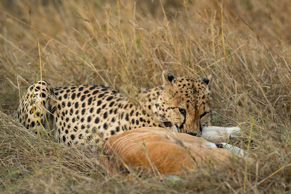 Cheetah Kill-3